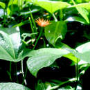 Image of Jungle Cucumber