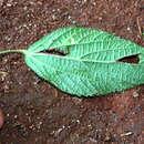 Image of field copperleaf