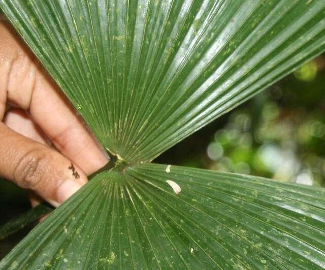 Image of Cryosophila