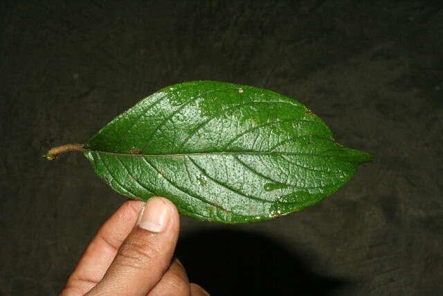Image of soldierbush