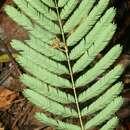 Image of <i>Senegalia tenuifolia</i> (L.) Britton & Rose