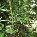 Image of <i>Psychotria chagrensis</i> Standl.