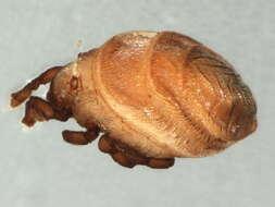 Image of Neoliodoidea