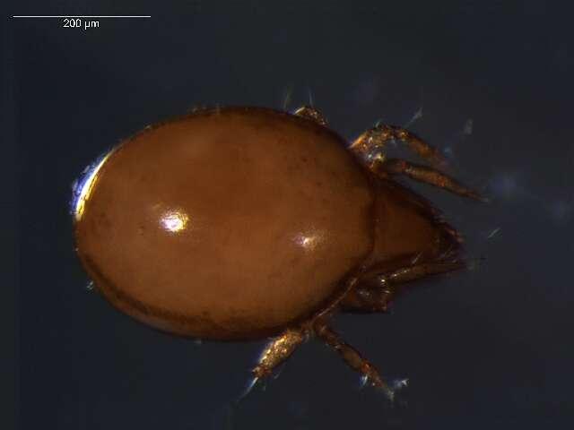 Image of Liacaridae