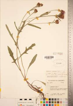 Image of <i>Centaurea decipiens</i> Thuill.