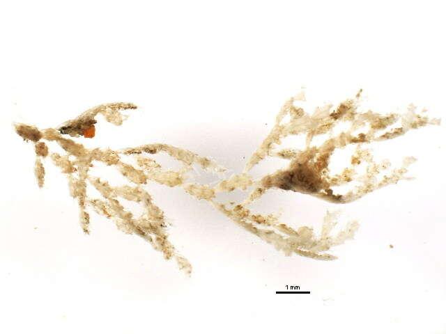 Image of moss animals