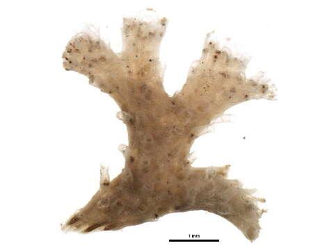 Image of narrow throat bryozoans