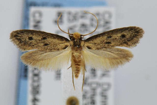 Image of Eccritothrix