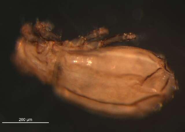 Image of Malaconothridae
