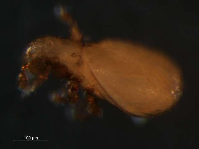 Image of Zetorchestoidea