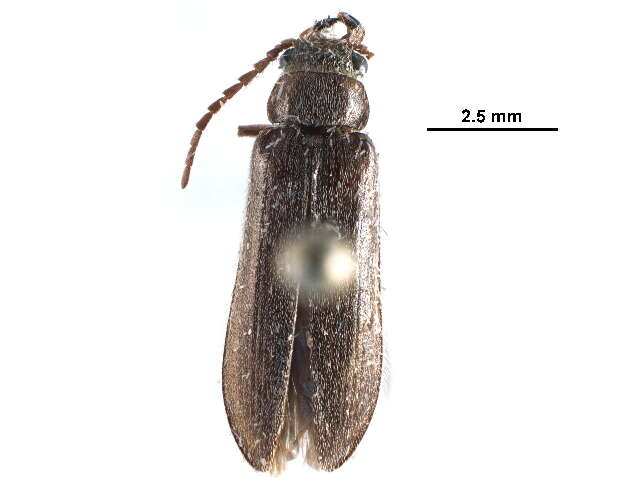 Image of Soft-bodied Plant and Cicada Parasite Beetles