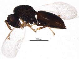 Image of Chalcidoidea