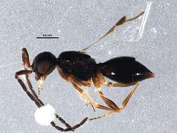 Image of Ceraphronids and Megaspilids