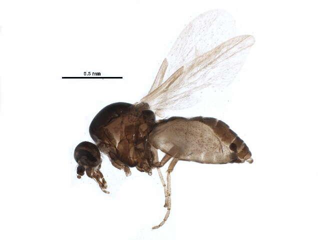 Image of Culicomorpha