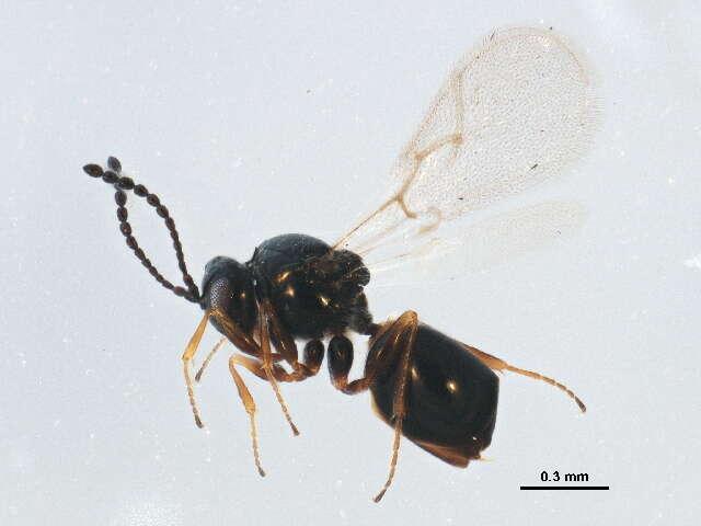 Image of Cynipoidea