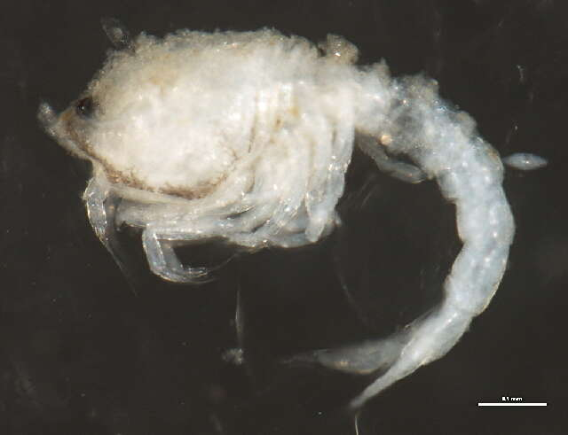 Image of typical crustaceans