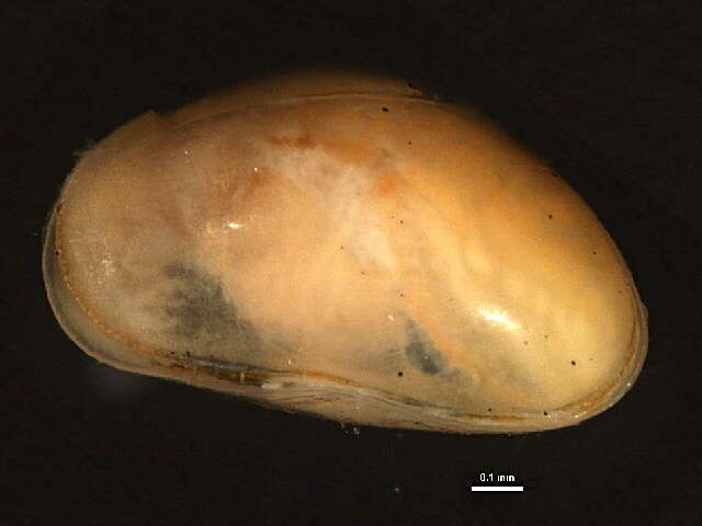 Image of oligostracan crustaceans