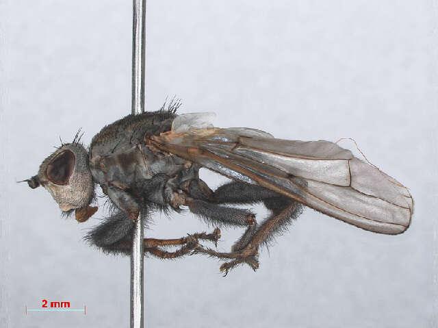 Image of seabeach flies