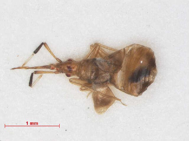 Image of Microphysoidea