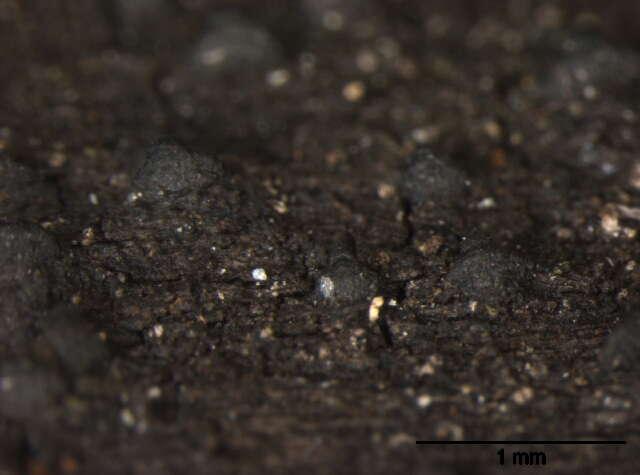 Image of Pleosporales
