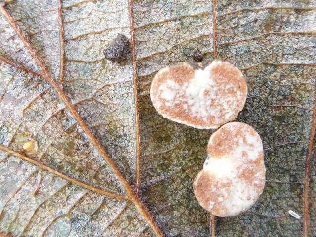 Image of Mucoromycota
