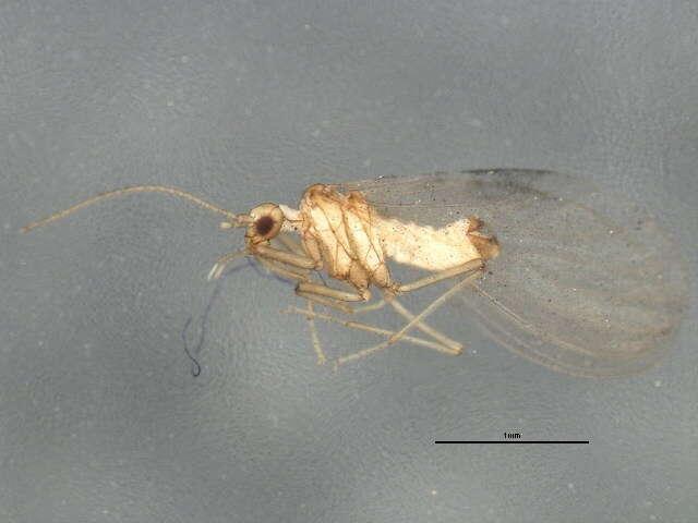 Image of Neuropterida