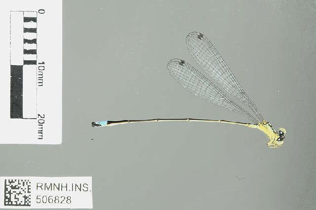 Image of narrow-winged damselflies