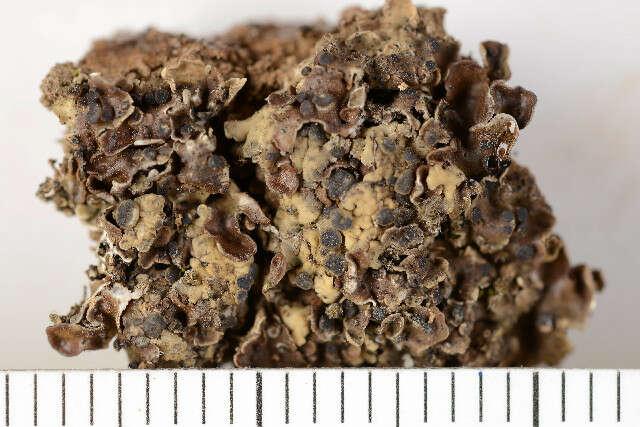 Image of Catillariaceae
