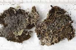 Image of Lecanoromycetidae