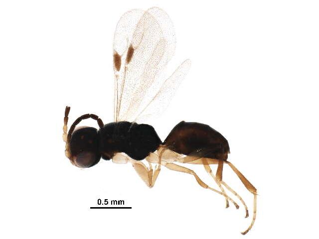 Image of Chrysidoidea