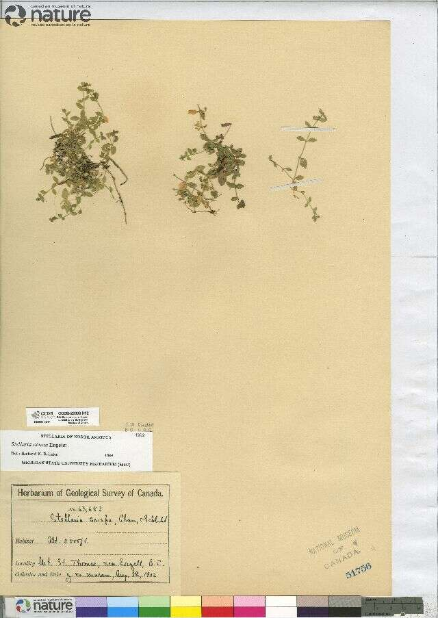 Image of chickweed
