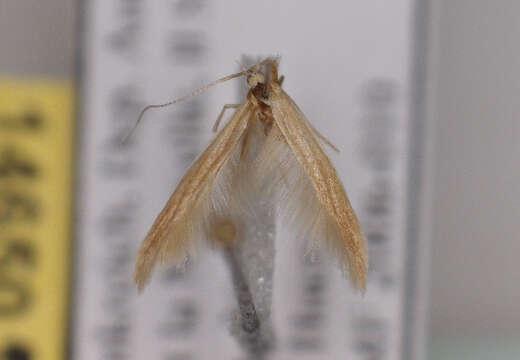 Image of <i>Coleophora aestuariella</i> Bradley 1984