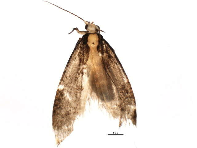 Image of Etimonotrysia