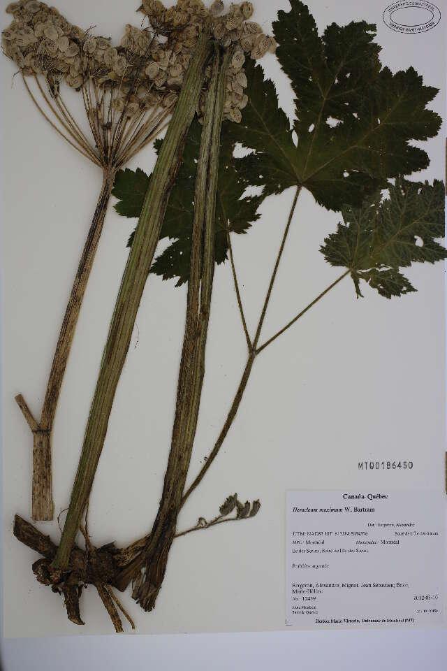 Image of hogweed