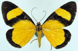 Image of <i>Celerena latiflava</i> Warren 1896