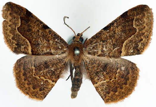 Image of <i>Callipotnia allognota</i> Prout 1916