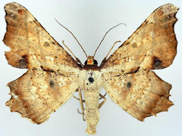 Image of Xylinophylla