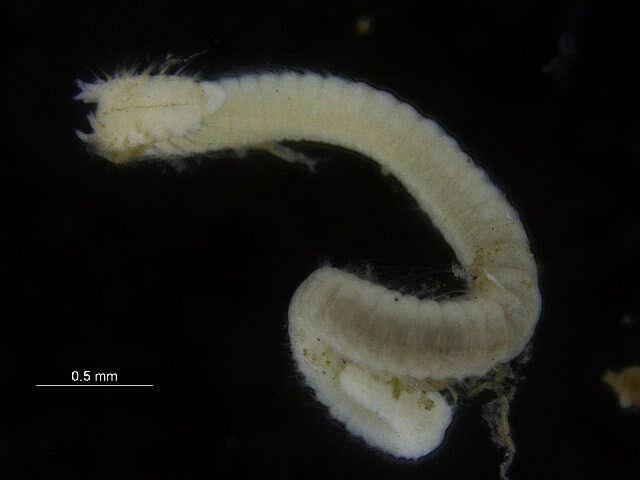 Image of Paraonidae