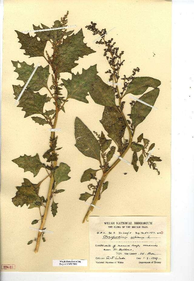 Image of Oxybasis