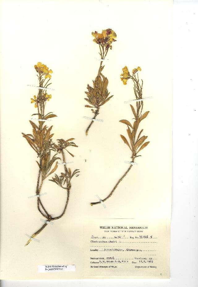 Image of wallflower