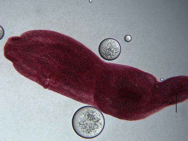 Image of Diplostomidae