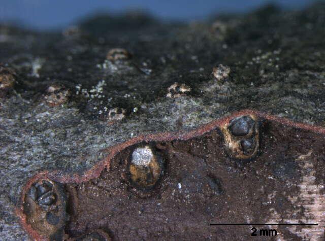 Image of Valsaceae