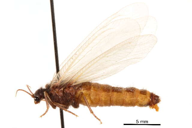 Image of moth lacewings
