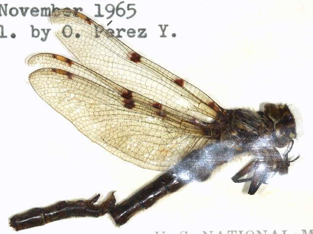 Image of Cordulegastroidea