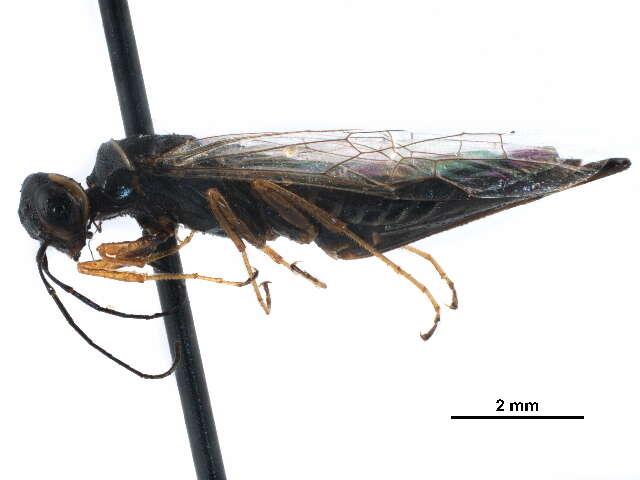 Image of wood wasps