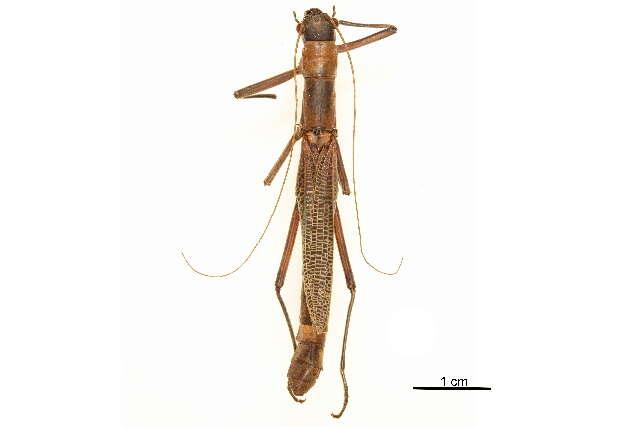 Image of Aschiphasmatoidea