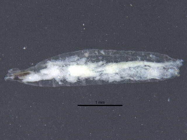 Image of Opomyzoidea