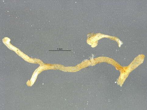 Image of Phylactolaemata