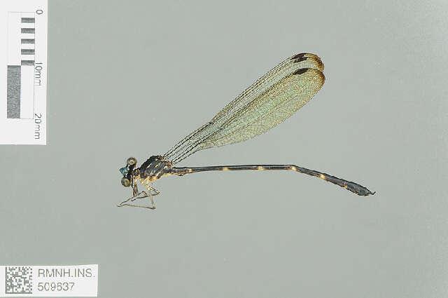 Image of Devadattidae