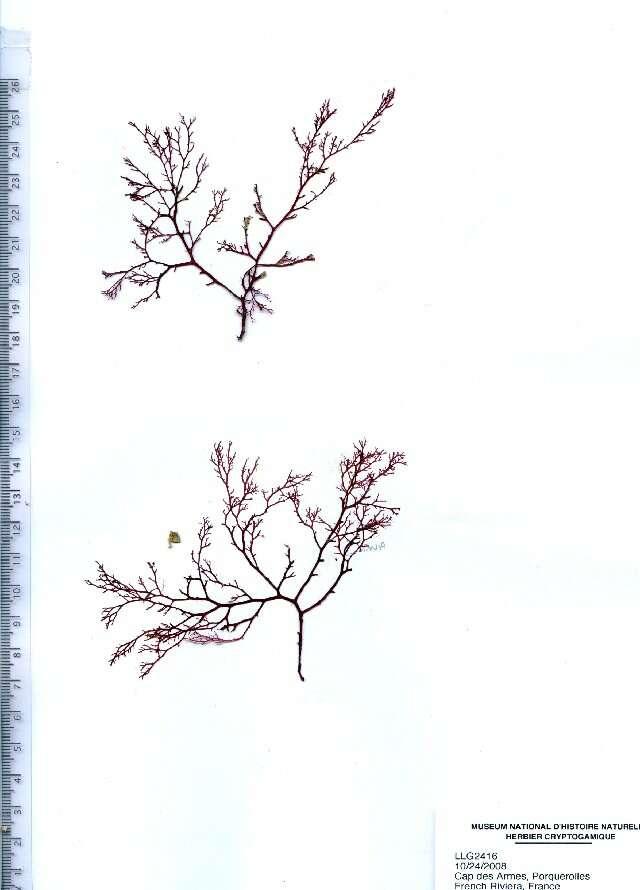 Image of Sphaerococcaceae